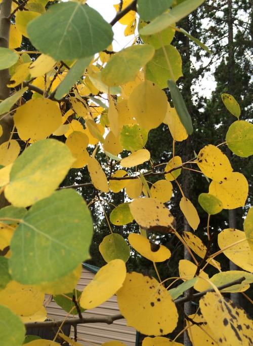 Aspen leaves on my property